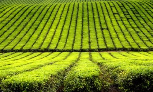 Tea ültetvény - Sövény, amiből még tea is készíthető? Igen, létezik!