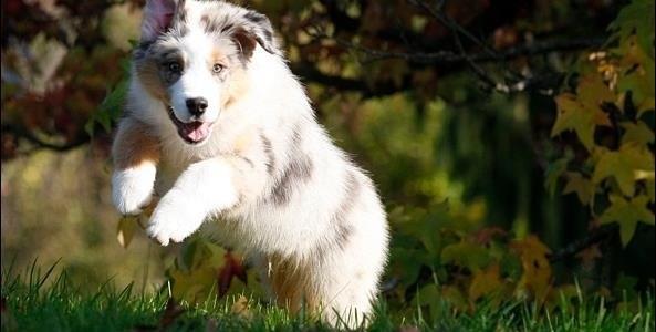 Hundehvalp, Træning