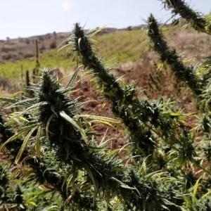 Libanon forbereder seg på å legalisere cannabis