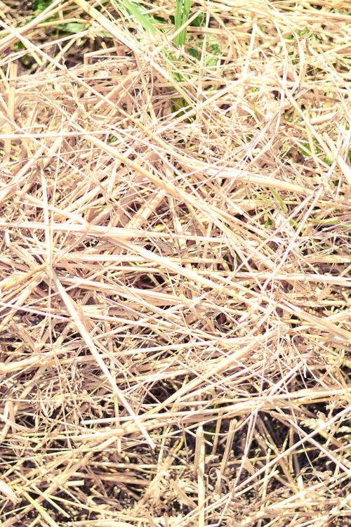 Gold Hay