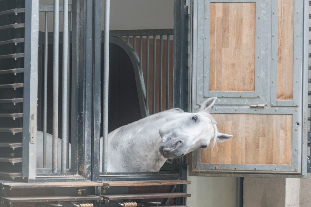 A Lipazzan horse, scratching an itch. The stables are right in the center of the old city.