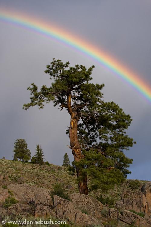 'Rainbow & Pine' © Denise Bush