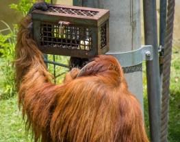 Orangutan at Perth Zoo - trying to access food from a locked box