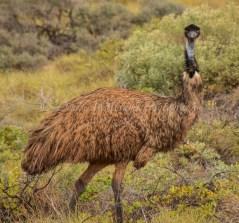 Emu Nr Exmouth, Western Australia