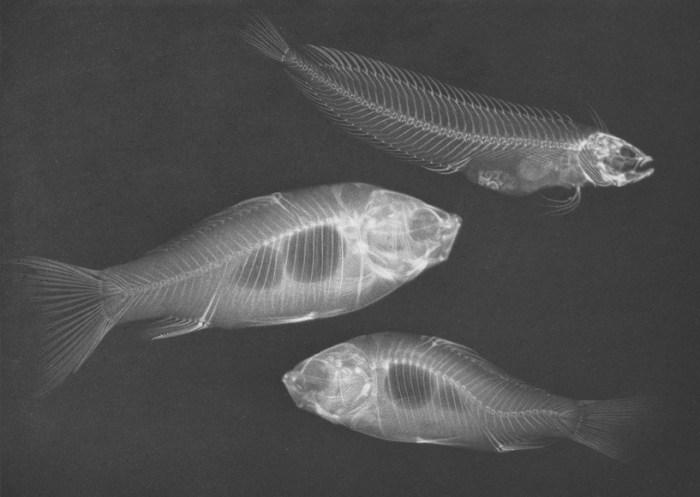 Zwei Goldfische und ein Seefisch (Christiceps argentatus), by Josef Maria Eder and Eduard Valenta, 1896