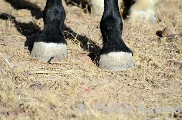 wilde-paarden-in-nevada