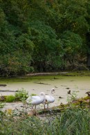 swans-on-pond