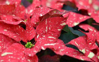 Winter Houseplant Care Featuring Seasonal/Holiday Plants