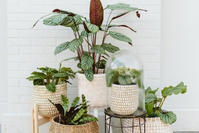 Mutliple types of calathea in baskets against a brick wall