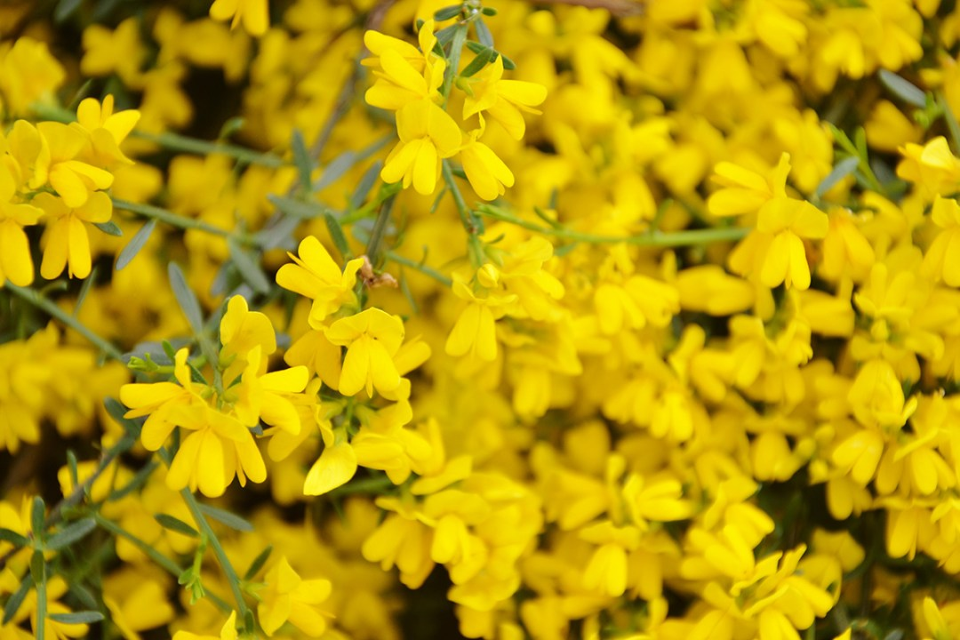 Yellow Scotch Broom Shrub