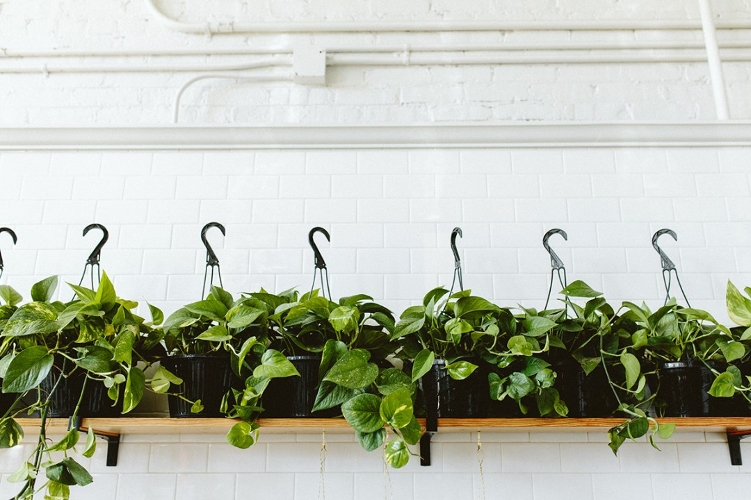 Pothos houseplants for mother's day