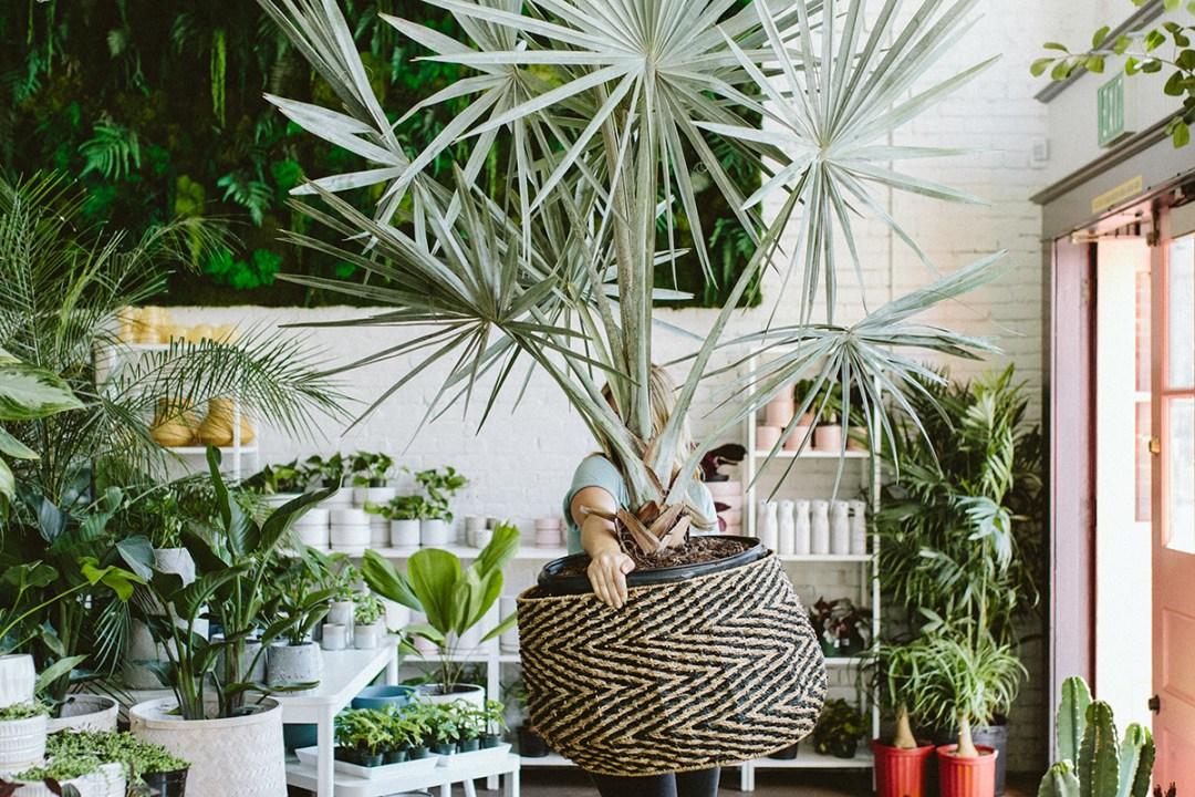 Employee holding giant palm plant
