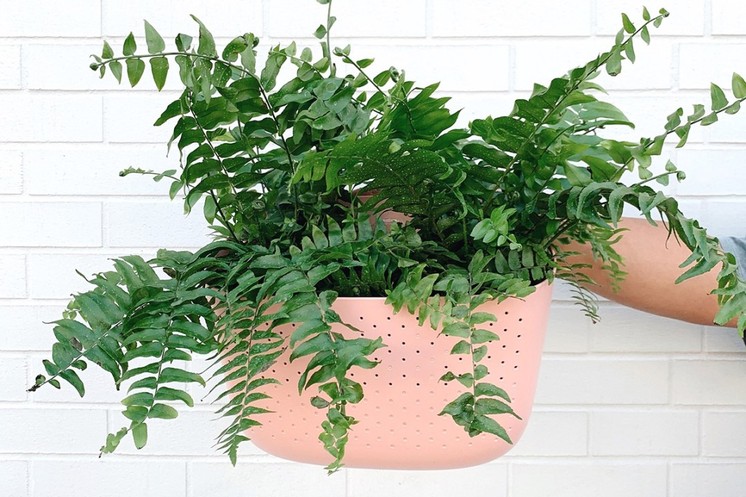 Fern in a pink wallygro eco planter