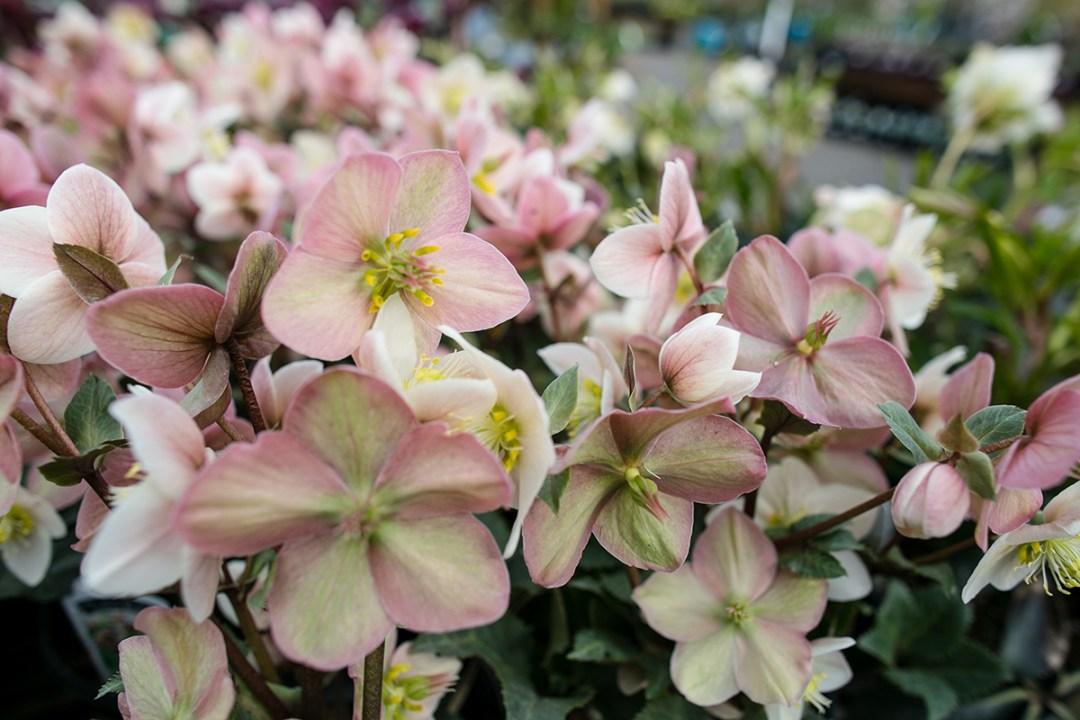 pink hellebore flowers