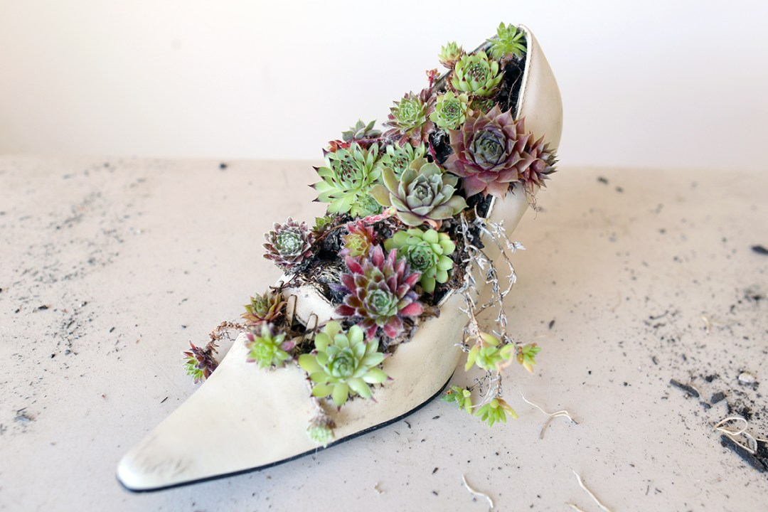 succulents planted in a shoe