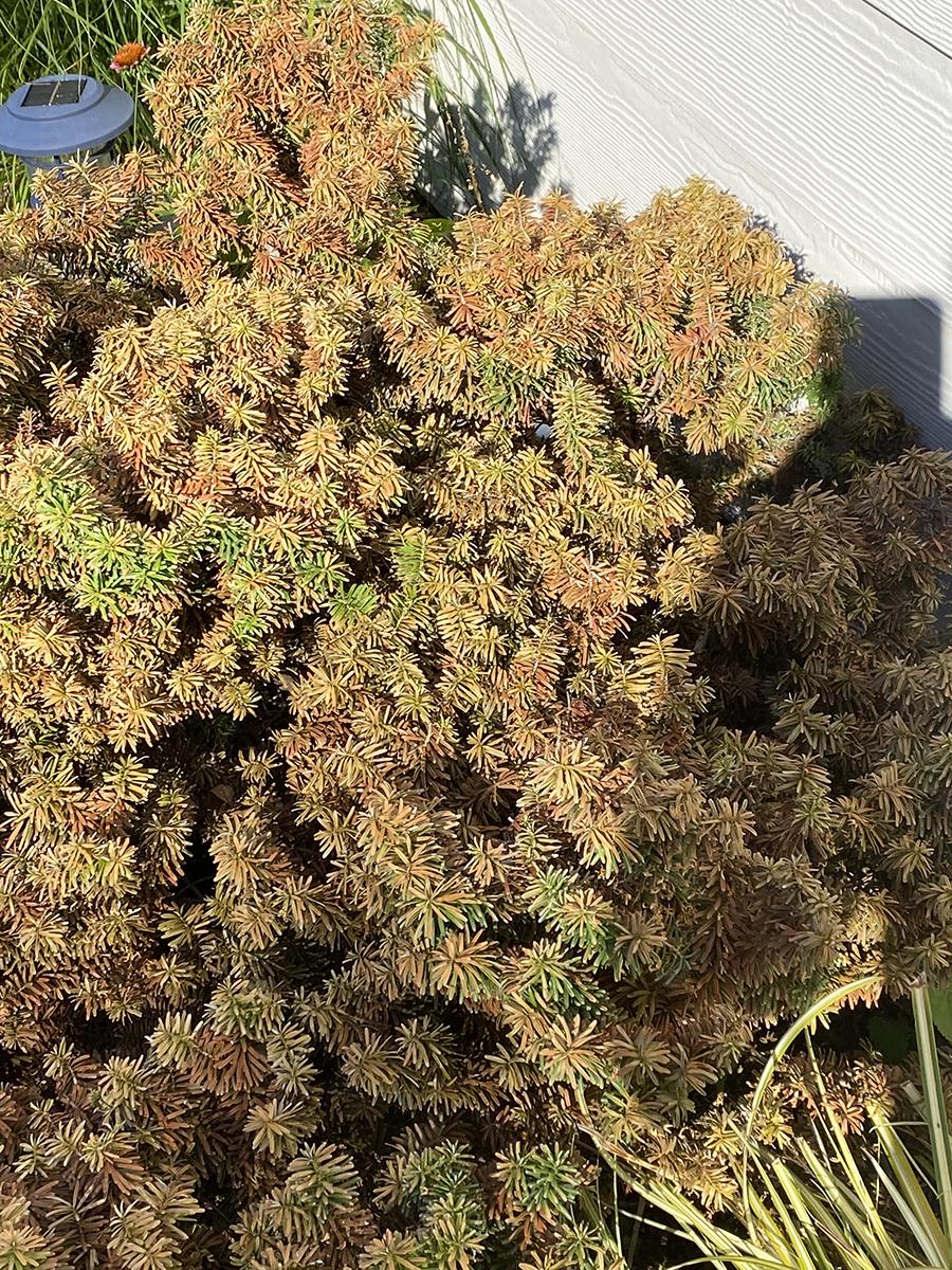 sunburned conifer