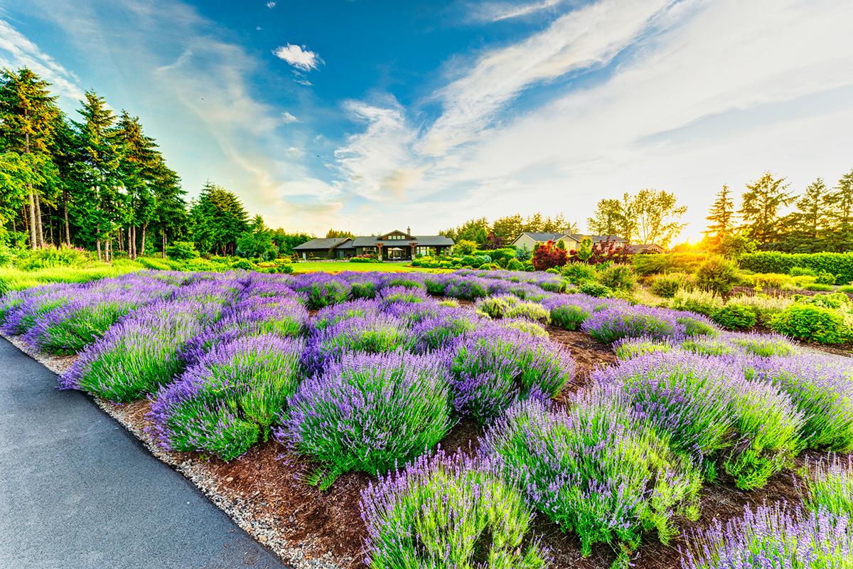lavender plants in landscape