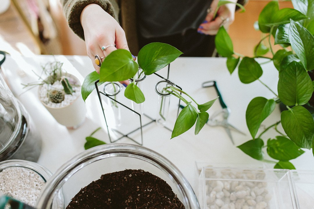 placing stem cuttings in water to propagate