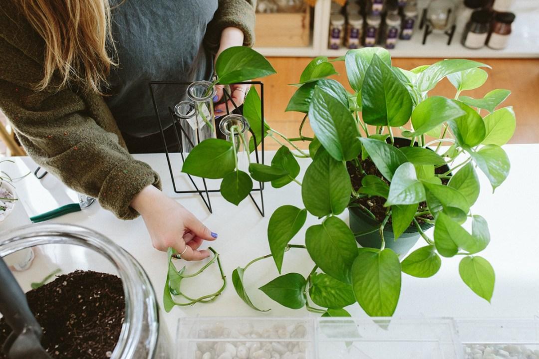 Stem cutting for plant propogation
