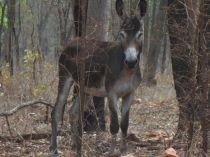 wilder Esel Australien Northern Territory Queensland Grenze