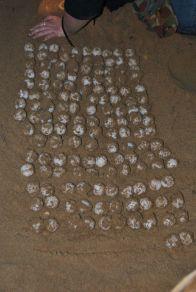 Schildkroeteneier Australien