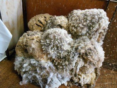 Wolle Schaf