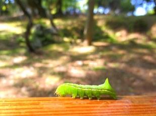 Nara caterpillar