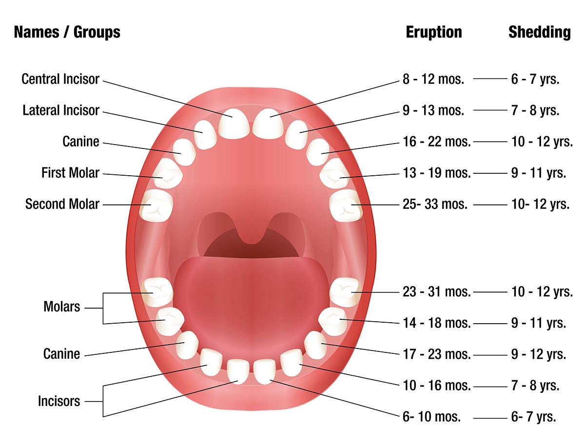 Teeth Eruption Chart For Deciduous And Permanent Teeth