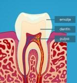 Slik er tannen bygd opp.