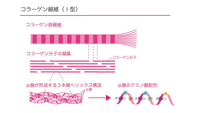 コラーゲン線維