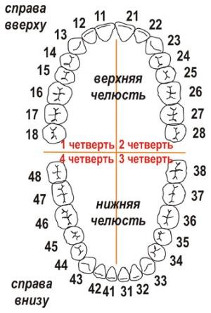 Нумерация зубов в стоматологии: различные схемы и номера ...