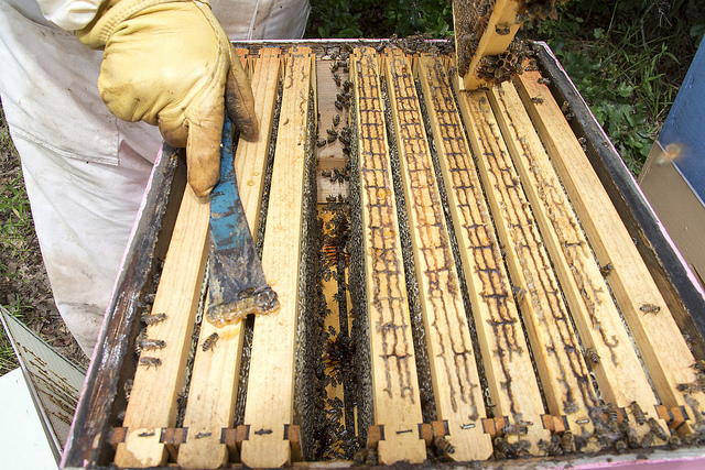 Dr. Lee Kavanagh opens the hive to reveal that the bees have been busy. Honey is ready to be harvested.