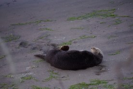 Sea Otter on the beach at Moss Landing