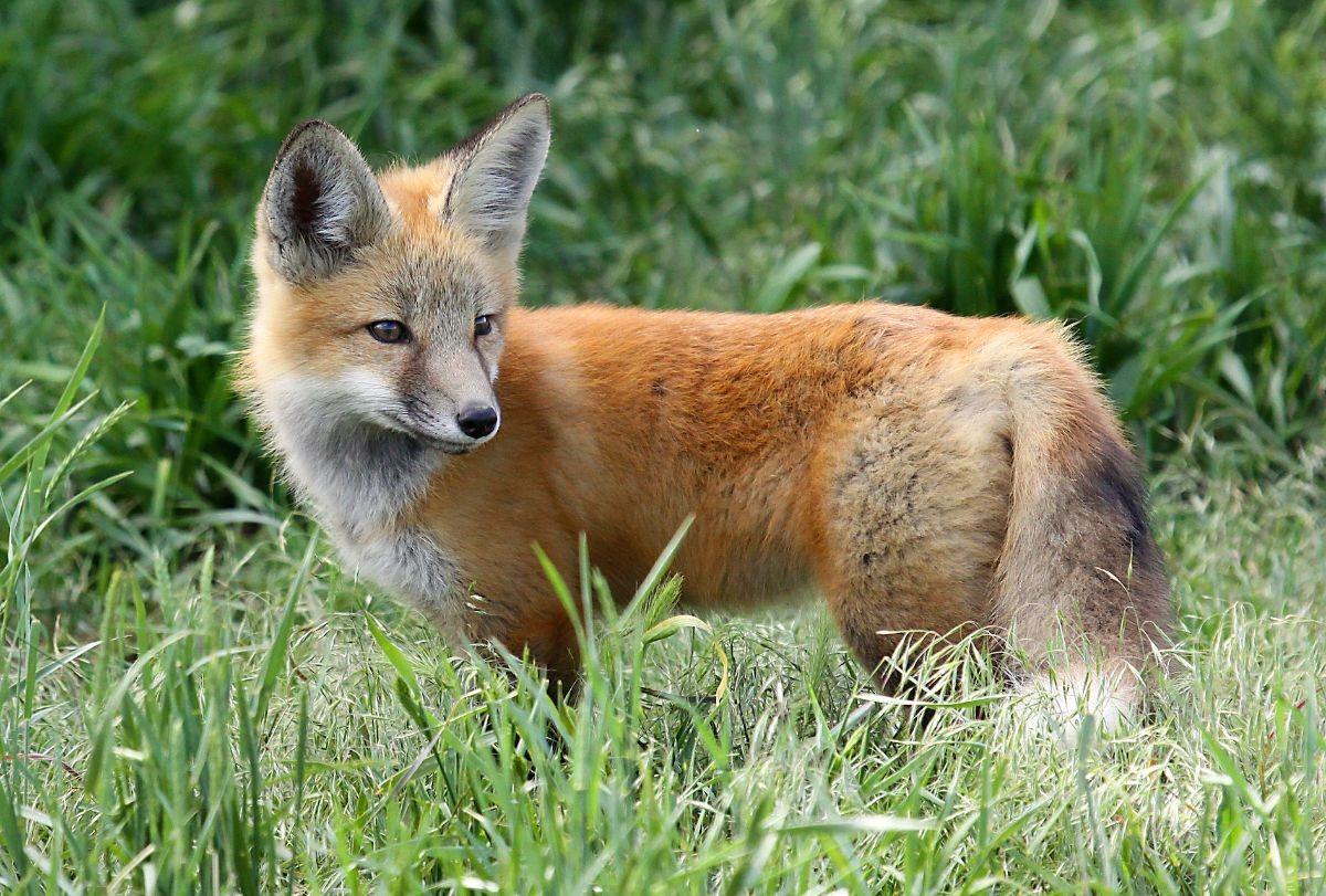 Woman Caught With Wild Fox In Colorado Springs Wild Animals Belong In The Wild Cbs Denver