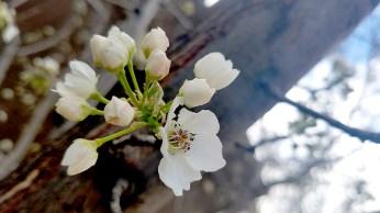 floweringtree3-800-20170324_162012