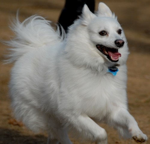 Magnificent Fluffy Pomeranian Fluffy Pomeranian Dog Hd Wallpaper