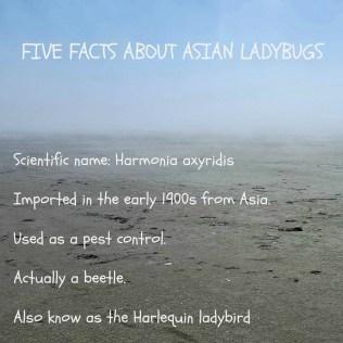 Asianladybugs17