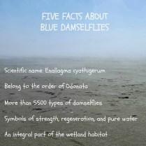 Blue damselflies17