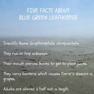 Bluegreen leafhopper1