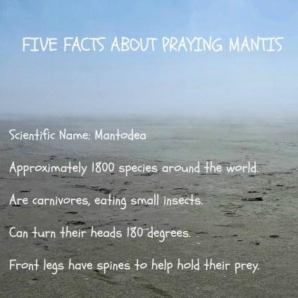 Praying mantis17