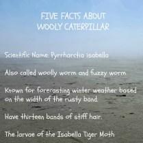 woolycatepillar17