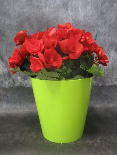 begonia-elatior-roja