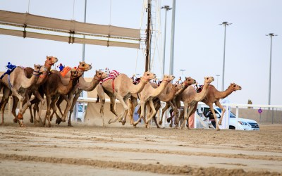 Camel Racing is Bigger Than You Think in the Middle East