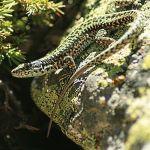 aigüestortes lagartija pirenaica iberolacerta monticola iberian rock lizard