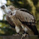 aigüestortes buitre leonado gyps fulvus griffon vulture