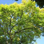 aigüestortes Fresno fraxinus excelsior ash tree
