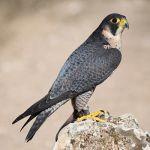 falco peregrinus halcón peregrino