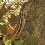 Psammodromusalgirus lagartija colilarga