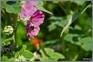 tuin_hvh_vlinderstruik_vlinders_hommels__147 (Kopie)