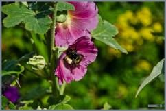 tuin_hvh_vlinderstruik_vlinders_hommels__153 (Kopie)